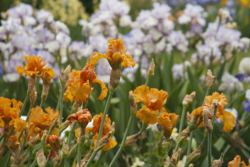 Orange King Iris