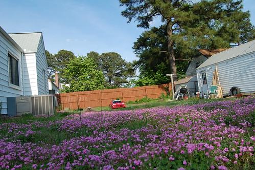 Walking the Dog (Flower Backyard)(May 10 2013)