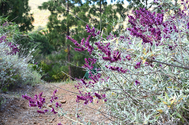 Wild Flowers, Fataga, Gran Canaria