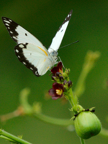 africa butterfly ghana paulinuk99999 sal70400g belenoiscreona africancommonwhite dawhenya