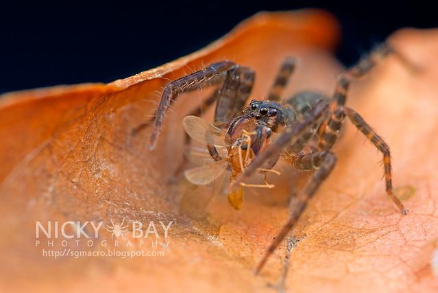 Wandering Spider (Ctenidae) - DSC_8192