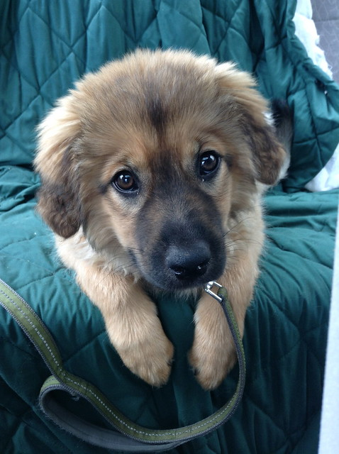 leonberger german shepherd mix beorn flickr photo sharing 7763