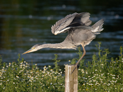 Heron Stretch