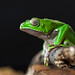 Frog_01 by yayad