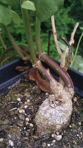 Ipomoea platensis root by Gerris2