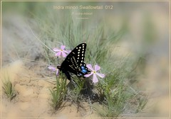 Indra minori Swallowtail butterfly fine art photography,  _012