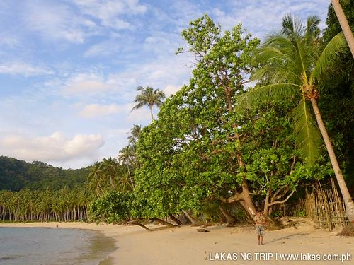 A big Talisay Tree along Maremegmeg Beach - El Nido, Palawan, Philippines