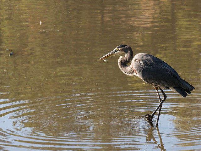 Great blue heron fishing on spring valley pond flickr for Blue heron fishing