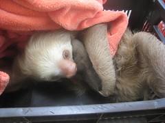 animal, sloth, mustelinae, mustelidae, mammal,