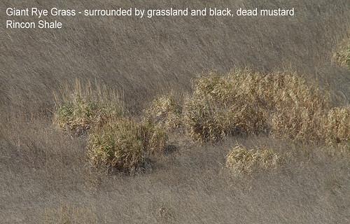 Giant Rye Grass, Rincon Shale