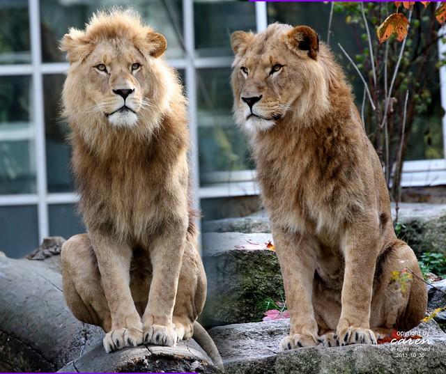 Afrikanische Löwen Bandele&Batou 2013_10_30
