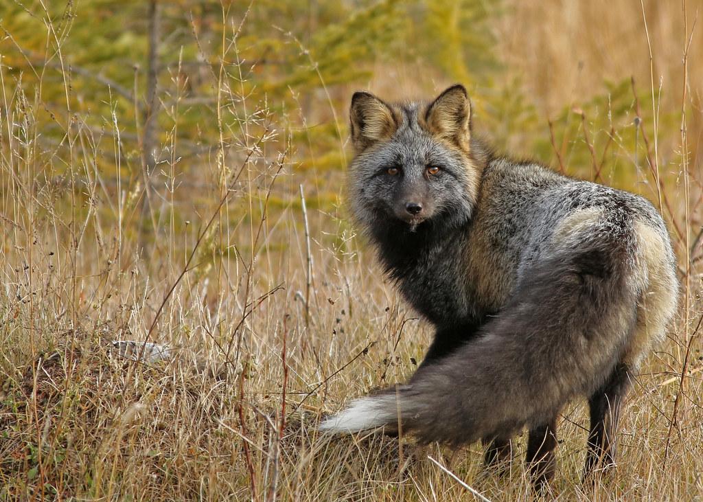 Red Fox... #10