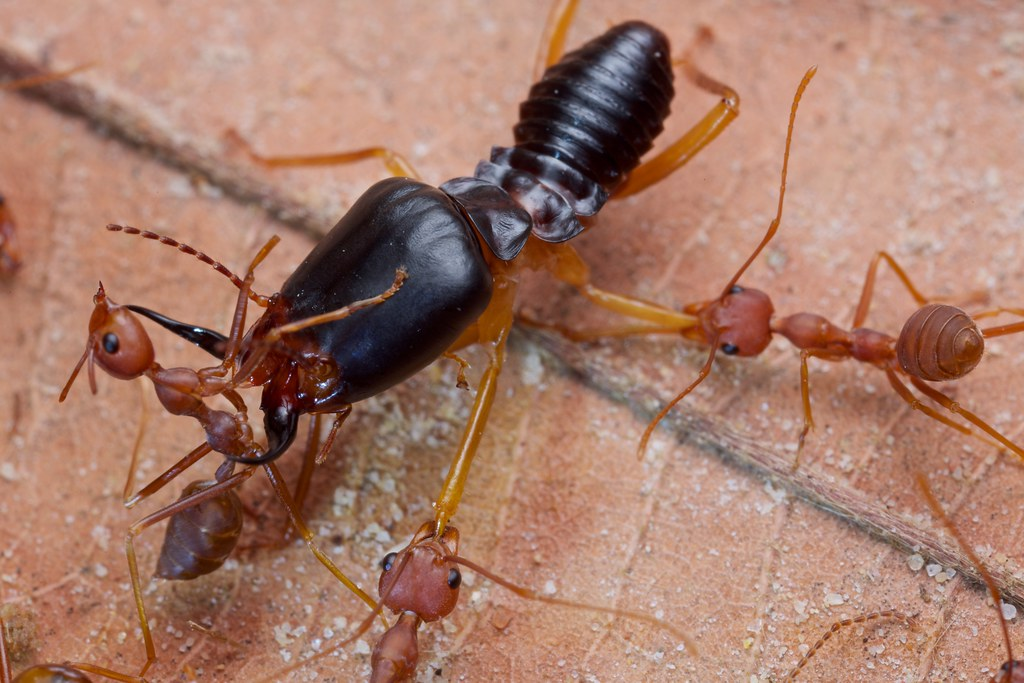Do Earwigs Bite People Reference Com. Earwigs. Get Rid Of ... |Soldier Termite Vs Earwig