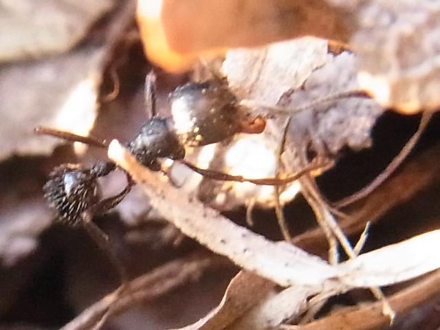 クロナガアリ(黒長蟻) Messor aciculatus