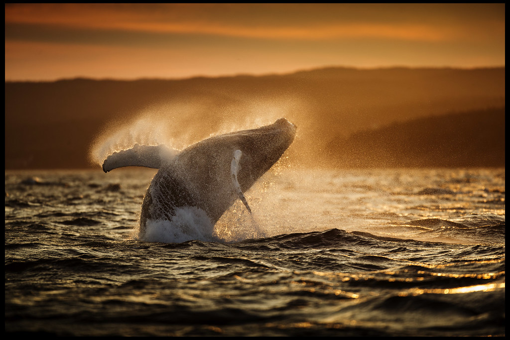 Humpback Whale Breaching at Sunset