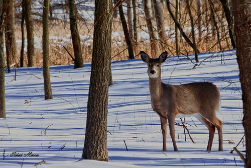 White-tailed Deer in Snowy Woods