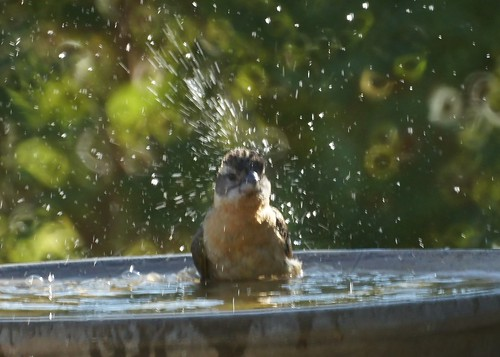 Black-headed Grosbeak Bathing