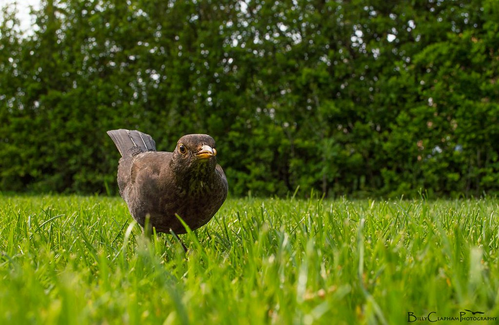 female blackbird wide angle garden mum  closeup