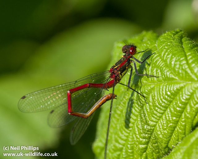 large red damselfly-5