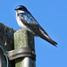 Tree Swallow by itchylick