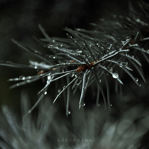 rain and pines