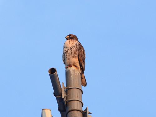 Uptown Hawk - 5374