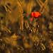 Einsam in der Wiese by roterrenner