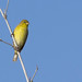 Grassland Yellow Finch by Adrian Duque Photography