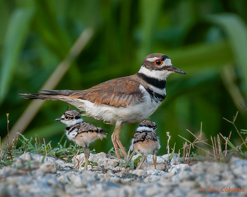 brown roy georgia killdeer 2014