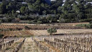 Entre vignes et Garrigue dans l Herault