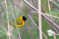 Black-Headed Weaver