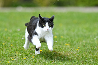 Oskar running in the grass | by Tambako the Jaguar