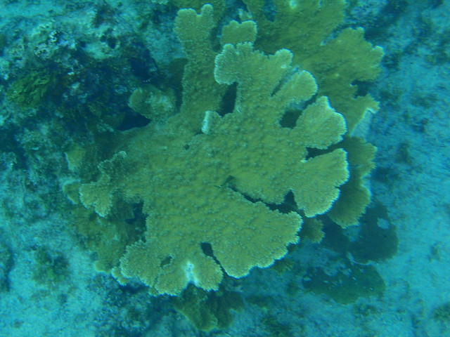 Header of Acropora palmata