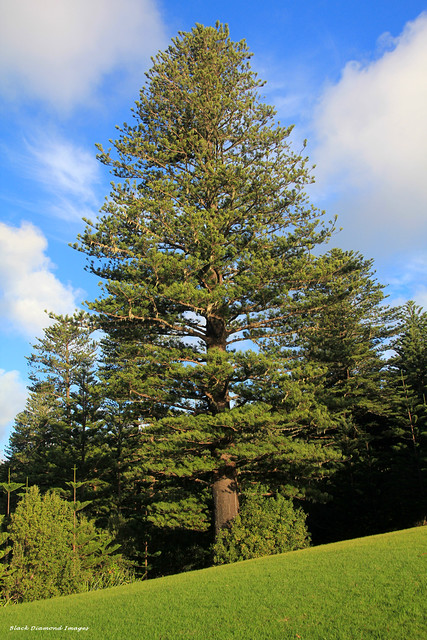 Araucaria heterophylla - Norfolk Pine, Captain Cook Lookout, Norfolk National Park, Norfolk Island