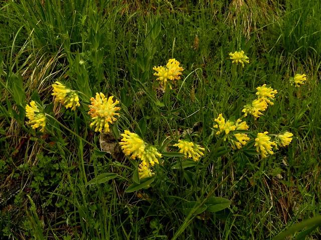 L 39 anthyllide vuln raire une plante m dicinale des talus for Plante 7 folioles