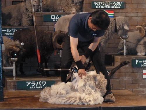 シープショー 羊の毛刈り中