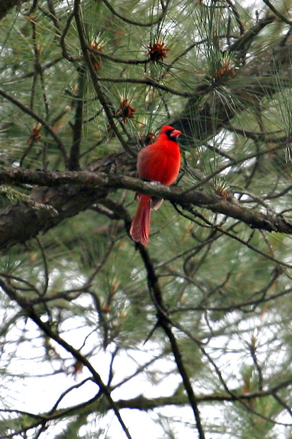 cardinalspring - 21