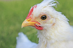 animal, chicken, poultry, fauna, close-up, fowl, beak, bird, galliformes,