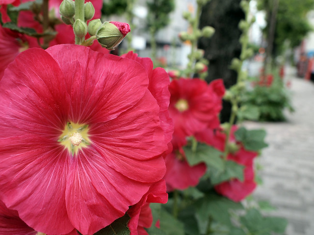 葵 flower