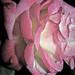 ROSE DE MAI** by Baratineuse1947**Lucie **