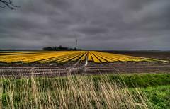 2012 04 28 Noordoostpolder Tulpenroute