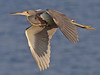 Tricolored Heron, Ding Darling (Florida), 16-Apr-13 by Dave Appleton
