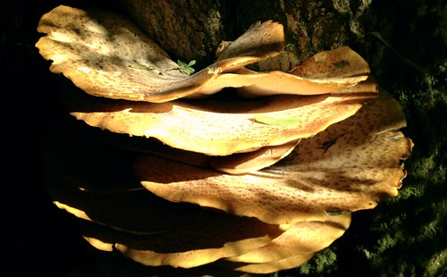 Dryads Saddle fungi