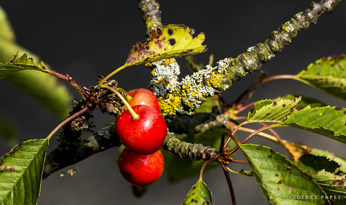 cherries by Zdenek Papes