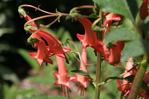 Garden in Red - Phygelius × rectus 'Salmon Leap'
