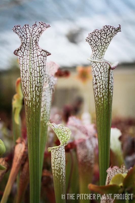 Sarracenia leucophylla AJ01