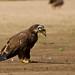 Eagle by Papa Al2