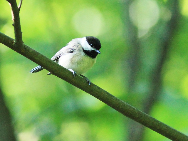 Black-capped Chickadee 20130814