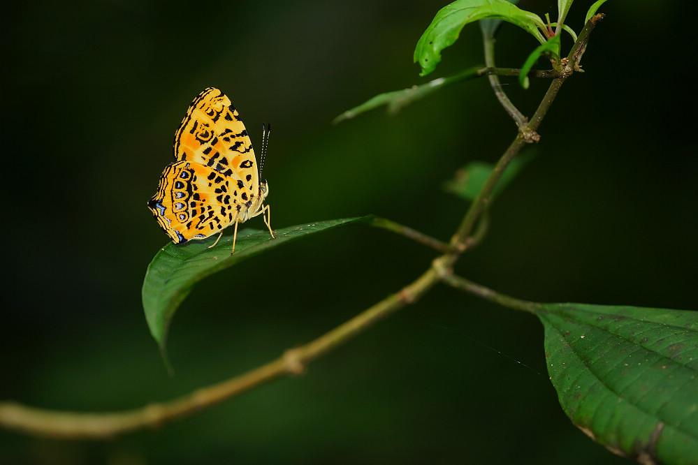 盛蛺蝶屬花豹盛蛺蝶-2