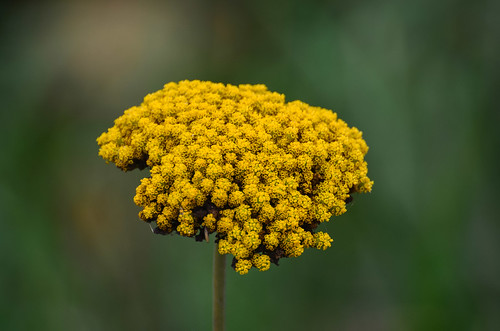 <p><i>Achillea filipendulina</i>, Asteraceae<br /> Colony Farm Regional Park, Coquitlam, British Columbia, Canada<br /> Nikon D5100, 70-300 mm f/4.5-5.6<br /> October 5, 2013</p>